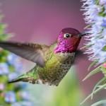 shutterstock_283428575hummingbirdlavenderflower