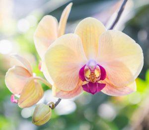 shutterstock_789693961orchidees